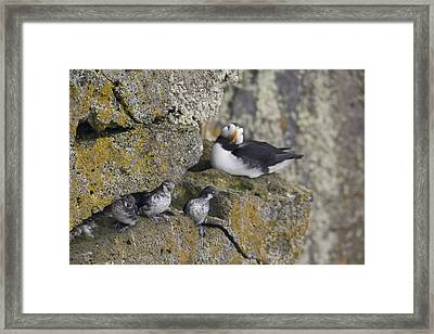 Least Auklets Perched On A Narrow Ledge Framed Print by Milo Burcham