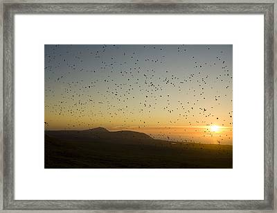 Least Auklets, Returning To Their Nest Framed Print by Brian Guzzetti