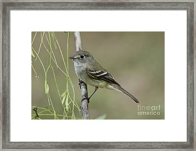Least Flycatcher Framed Print by Anthony Mercieca