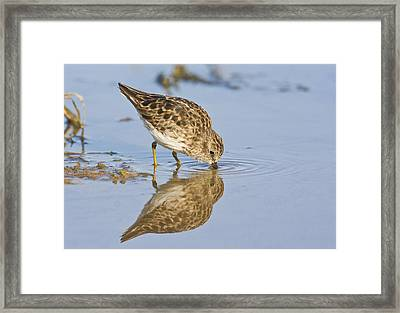 Least Sandpiper With A Reflection  Framed Print