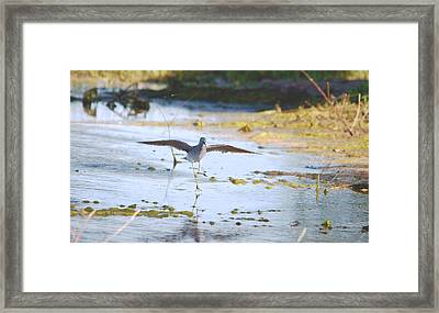 Least Sandpiper Water Landing Framed Print