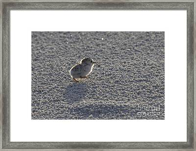 Least Tern Chick Framed Print