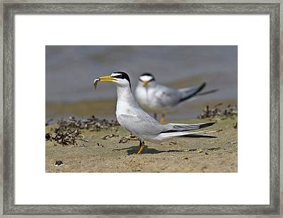Least Tern (sterna Antillarum, Offering Framed Print by Larry Ditto