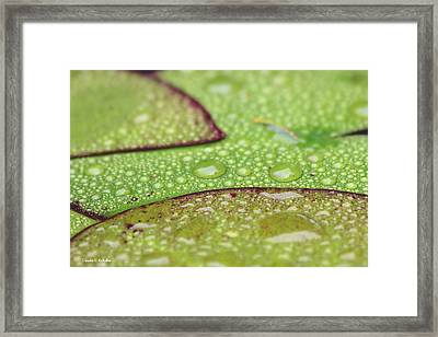 Leaves Of A Water Lily After A Rain Framed Print by Claudia Kukulka