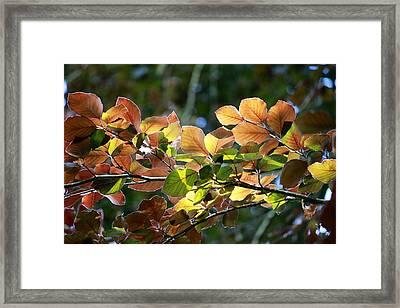 Leaves Of Light Framed Print by Tim Rice
