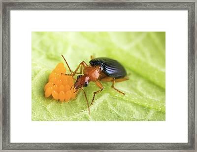 Lebia Grandis Beetle Eating Eggs Framed Print