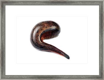 Leech Framed Print by Alex Hyde