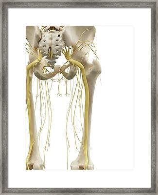 Leg Bones And Nerves Framed Print