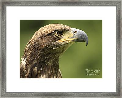 Legendary Juvenile Bald Eagle  Framed Print by Inspired Nature Photography Fine Art Photography