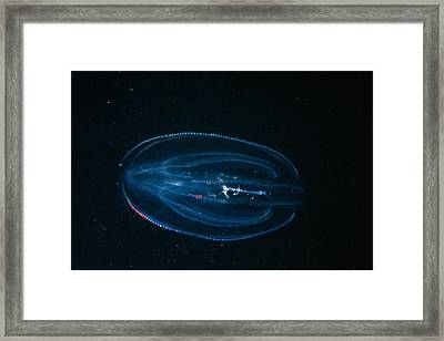 Leidys Comb Jelly Framed Print by Andrew J. Martinez