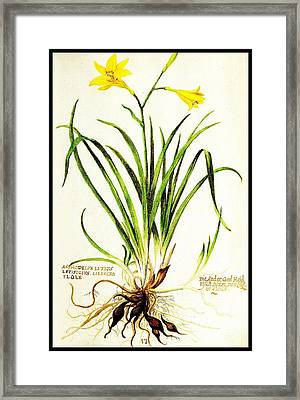 Lemon Daylily Botanical Framed Print by Rose Santuci-Sofranko