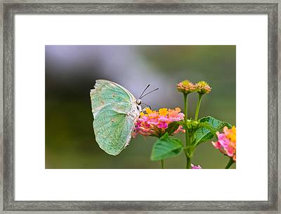 Lemon Emigrant Butterfly Framed Print by Scott Carruthers