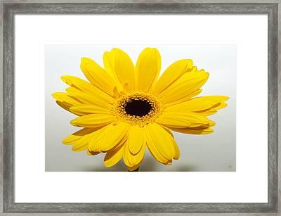 Lemon Meringue Zinnia Framed Print by Sherry Allen
