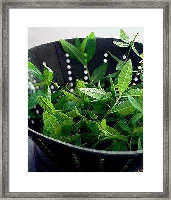 Lemon Verbena Herbs Framed Print by Romulo Yanes