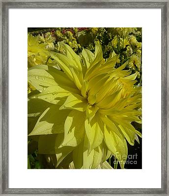 Lemon Yellow Dahlia  Framed Print by Susan Garren