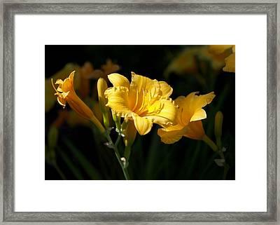 Lemon Yellow Daylilies Framed Print by Rona Black