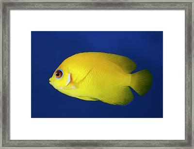 Lemonpeel Angelfish Framed Print by Nigel Downer