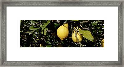 Lemons Growing On Tree, Vinaros Framed Print by Panoramic Images