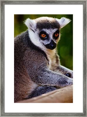 Lemur Closeup Framed Print