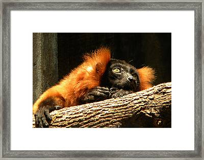 Lemur In Longing Framed Print by Phillip W Strunk