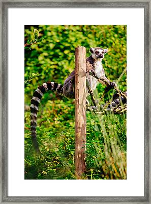 Lemur In The Green Framed Print by Pati Photography