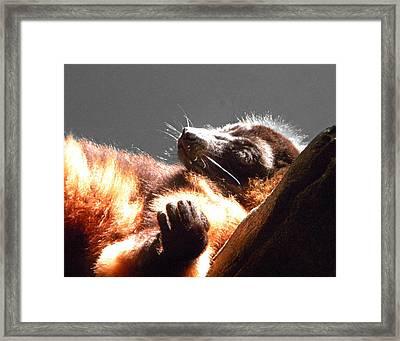 Lemur Lounging Framed Print by Phillip W Strunk