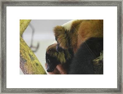 Lemur - National Zoo - 01132 Framed Print by DC Photographer