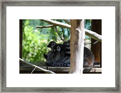Lemur - National Zoo - 01133 Framed Print by DC Photographer