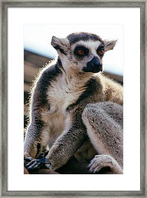 Lemur On The Roof Framed Print by Pati Photography
