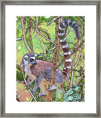 Lemur Sketch Framed Print by Dan Dooley