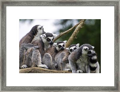 Lemurs Close Up Framed Print by Chris Flees