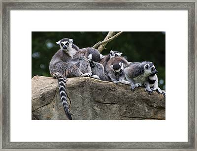 Lemurs On A Rock Framed Print by Chris Flees