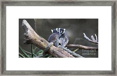 Lemur's Framed Print by Shannon Rogers