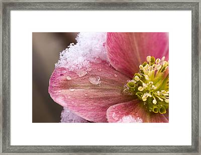 Framed Print featuring the photograph Lenten Rose by Cathy Donohoue