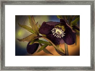 Lenten Rose Hellebore Floral Framed Print by Julie Palencia