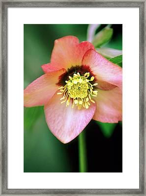 Lenten Rose (helleborus Orientalis) Framed Print by Stephen Harley-sloman/science Photo Library