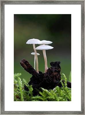 Lentil Shanklet Fungus Framed Print by Nigel Downer