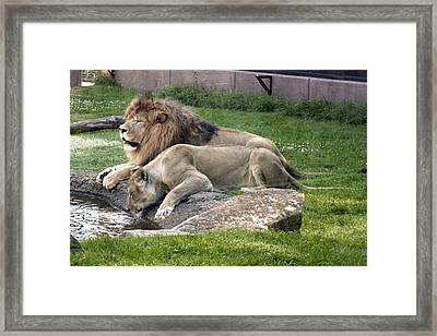 Leo And Una - Twin Male And Female Lions At The University Of North Alabama Framed Print