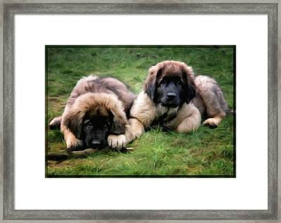 Leonberger Puppies Framed Print