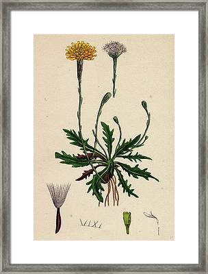 Leontodon Autumnalis Var. Genuinus Autumnal Hawk-bit Var Framed Print