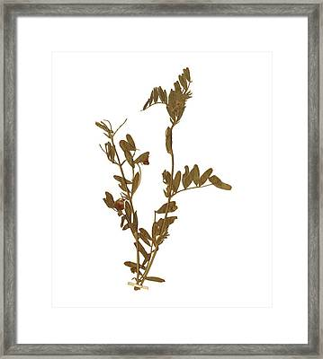 Leontodon Framed Print by Antique Engravings