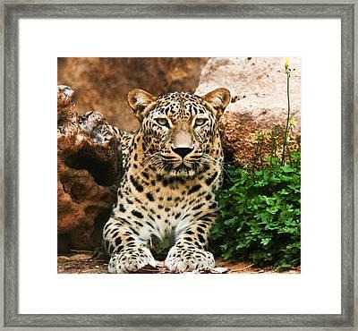 Leopard Framed Print by Amr Miqdadi