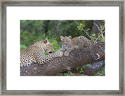 Leopard And Cub Masai Mara Kenya Framed Print by Andrew Schoeman