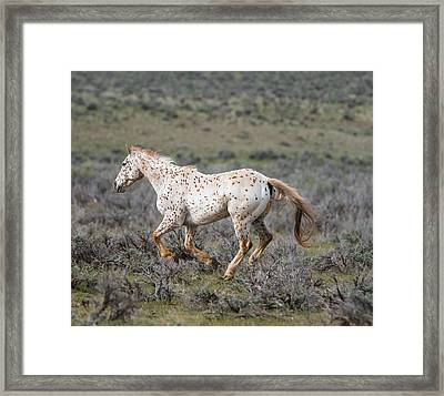 Leopard Appaloosa Horse Framed Print by Michael Lustbader