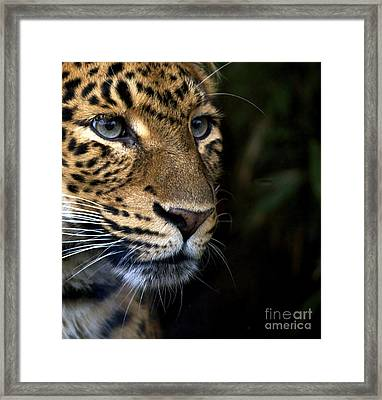 Leopard Cub Framed Print by Louise Fahy