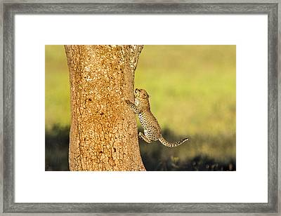 Leopard Cub Panthera Pardusclimbing Framed Print by Panoramic Images