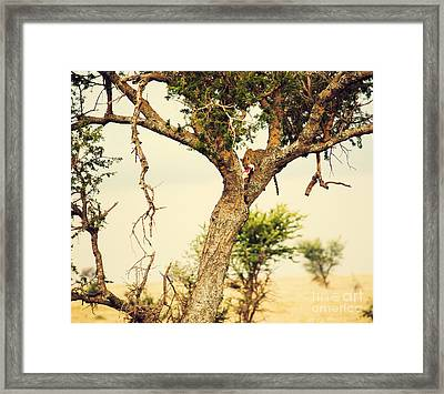 Leopard Eating His Victim On A Tree In Tanzania Framed Print by Michal Bednarek