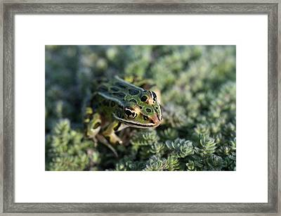 Leopard Frog In Wooly Thyme Framed Print
