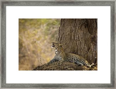 Leopard Gazing Up Framed Print by Alison Buttigieg