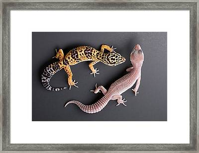 Leopard Gecko E. Macularius Collection Framed Print